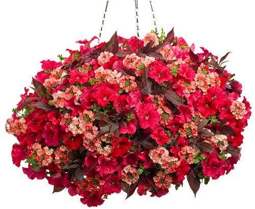 100pcs suspendus graines de pétunia graines de fleurs melissa originales fleurs vivaces pour la plantation en pot bonsaï jardin maison pétunia 10