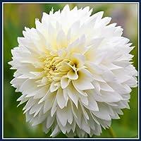 ダリア球根*多年生のダリア球根,家の植栽,花壇,花のパスや前庭に適しダリア,簡単な植物,火のようなサフラン花は魅力的で消費者に人気があります-白,20球根
