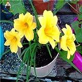 Mischfarbe Amaryllis Samen Seltene Hippeastrum Blumensamen Home Patio Garden Blumen Samen Barbadoslily Samen 100 Stücke /: Dunkel Khaki