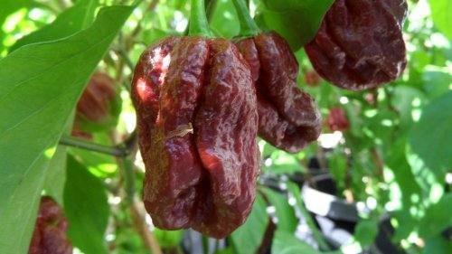 25 Rare Schokolade Trinidad 7 Pot Douglah Premium-Seeds