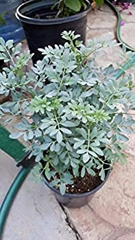 Ruda Plant Common Rue Herb of Grace - 8  to 1 Feet Tall - Ship in 1 Gallon Pot…