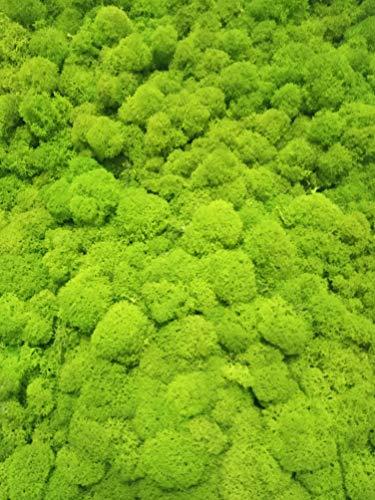 Licheni stabilizzati. Confezione da 250 gr. Colore verde lime. Muschio di renna stabilizzato. Confezionato in Spagna.