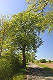Baum des Jahres 2019 - Flatterulme im Topf/Container Größe 50 bis 80 cm