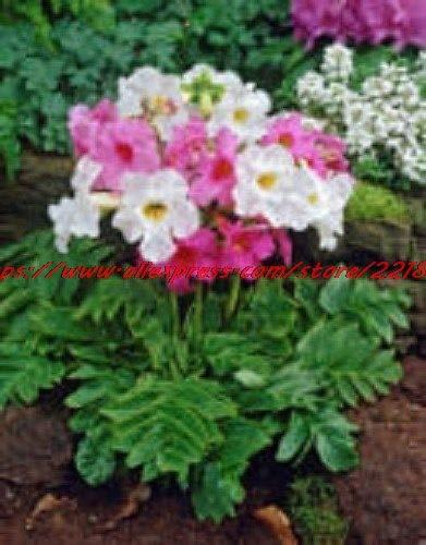 Green Seeds Co. Blumen Gartenblume 25pcs...