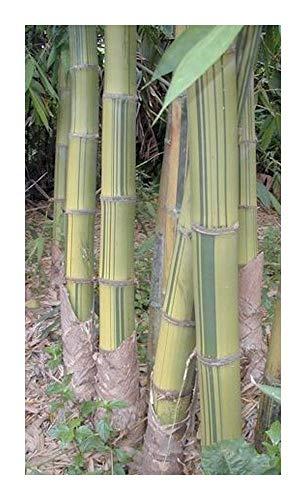 Dendrocalamus membranaceus cv. grandis - Bambou - 10 graines