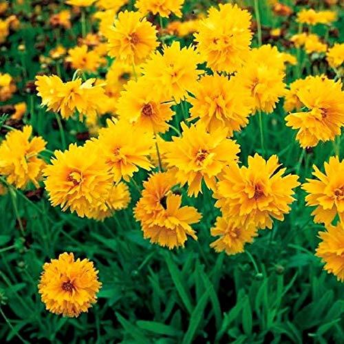Yukio Samenhaus - Selten Zwergmädchenauge Gelb Bodendecker Bonsai Blumensamen winterhart mehrjährig in Rabatten/Einfassungen