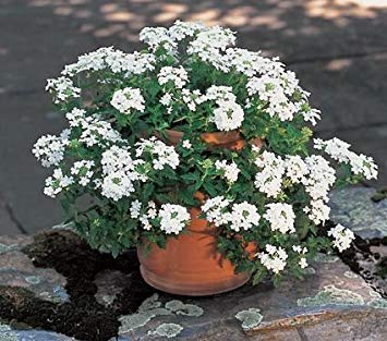 BloomGreen Co. Graines de fleurs: Les larmes d'Isis Hanging panier blanc Facile à cultiver Flower Garden [jardin Graines Eco Pack] Graines de plantes