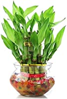 Zaavic Two Layer Lucky Bamboo plant with Big Round Glass Pot and Colored Jelly Balls(Green)