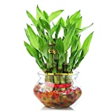 Images shown are of the 12 months old plant - Actual Size may defer It is a natural plant. It is a Feng Shui Gift. Lucky Bamboo a symbol of luck and prosperity making it a common gift and the perfect small house plant. MATERIAL: Natural Plants & Glas...