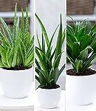 BALDUR-Garten Zimmerpflanzen-Mix Grüne Lieblinge, 3 Pflanzen 1 Pflanze Aloe Vera, 1 Pflanze Sanseveria Kirkii und 1 Pflanze Dracena Compacta Zimmerpflanzen