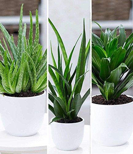 BALDUR-Garten Zimmerpflanzen-Mix Grüne Lieblinge, 3 Pflanzen Luftreinigende Zimmerpflanzen 1 Pflanze Aloe Vera, 1 Pflanze Sanseveria Kirkii und 1 Pflanze Dracena Compacta