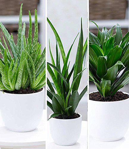 BALDUR-Garten Zimmerpflanzen-Mix
