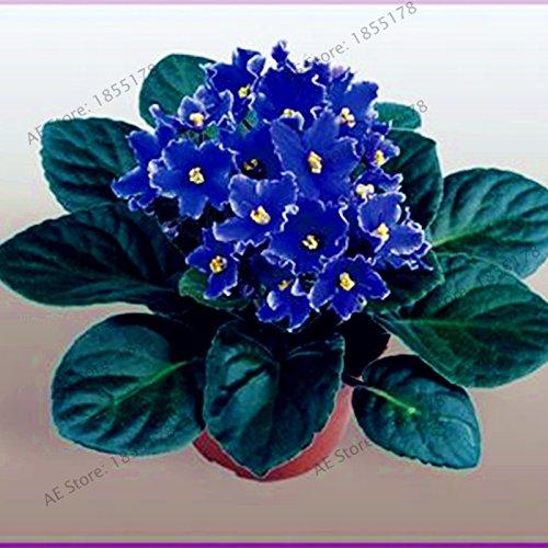 50pcs/sac Violet Graines Plantes Jardin Violet Fleurs vivaces herbes Matthiola Incana de semences pour la maison et le jardin 9