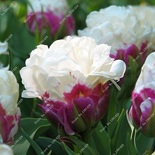 5 Vrai Tulip Ampoules, (pas Tulip Seeds), Bulbes à fleurs Tulipes, Rhizome extérieure bricolage usine, Bonsai Pot pour jardin