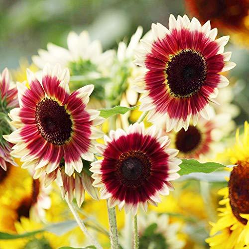 100+ Rare Red Sunflower Seeds Garden and Home Bonsai Flower Plant