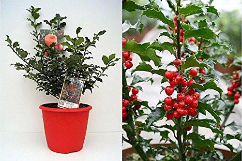 Baumschule Pflanzenvielfalt Ilex meserveae Blue Princess - Weihnachts-Ilex immergrüne Stechpalme