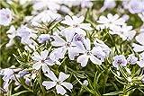 Garten-Teppich-Flammenblume Phlox subulata Staude im Topf gewachsen