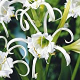 BULBOS DE FLORES para una floración de primavera/verano/otoño (3, Hymenocallis festalis ZWANENBURG)
