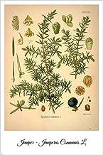 Juniper Vintage Botanical Floral Illustration Art Poster 24x36 Home Decor Print