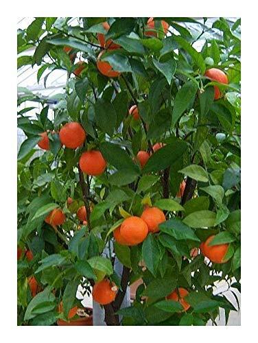 Citrus mitis - Oranger nain - 5 graines