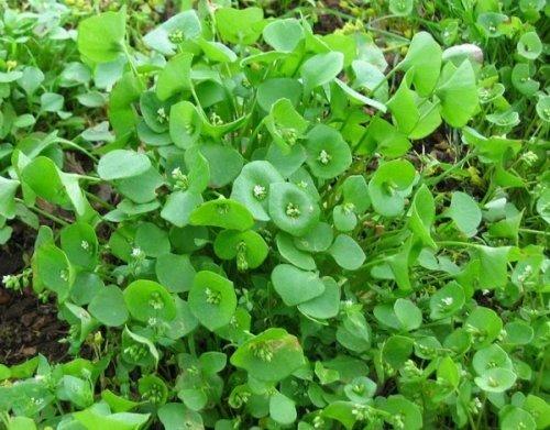Postelein - Winterportulak - Claytonia perfoliata - Salat - Portulak - 200 Samen