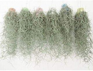 プランツネット 観葉植物 ウスネオイデス カラーカップ吊 K0105595 15個入