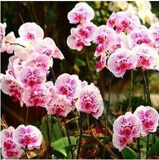 10pcs/lot papillon graines d'orchidées, fleurs d'intérieur bonsaï quatre saisons, Phalaenopsis Orchidées jardin maison 5