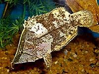 【熱帯魚・その他】 リーフフィッシュ ■サイズ:8cm± (2匹)