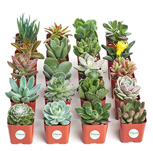 Shop Succulents | Unique Collection of Live Plants, Hand Selected Variety Pack...
