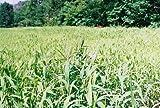 Brown Top Millet Seeds ' Premium Florida Grown ' 5 Lbs Bulk