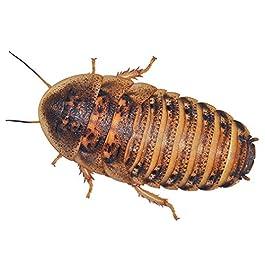 Feeder Cockroaches