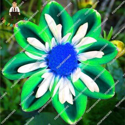 Kalash New 50pcs Dahlie Blumensamen für Garten Mixed 1