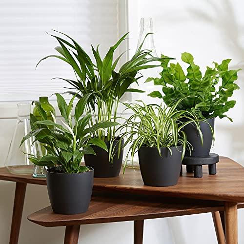4er Set Luftreinigende Zimmerpflanzen | Vier Grünpflanzen mit Topf | Höhe 25-30 cm | Anthrazit ELHO Ziertöpfe Ø 12,5 cm