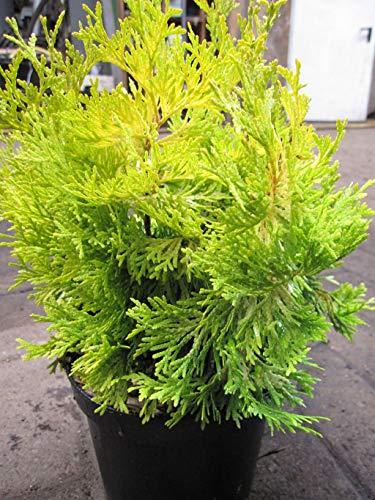 Thuja occidentalis Krakus - Lebensbaum...