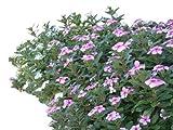 Madagaskar,Immergrün -Catharanthus roseus- 100+...