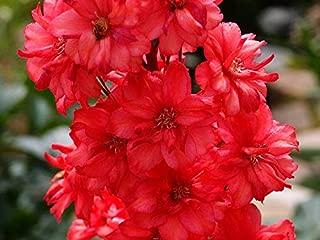 Seeds4planting - Seeds Delphinium Red - Organic
