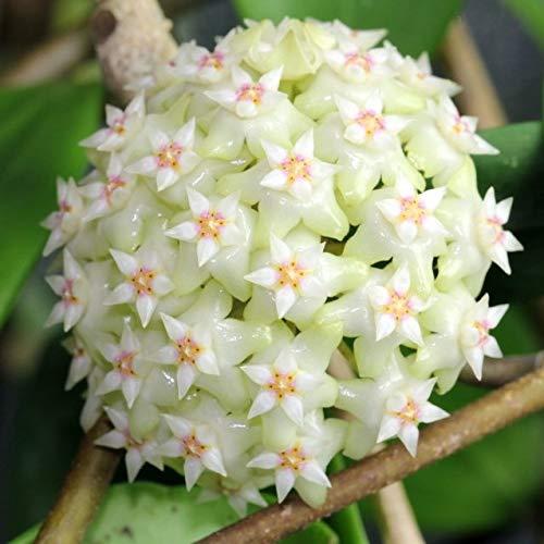 Vente chaude 2016 20 Couleurs rares graines de hoya Graines de fleurs 50pc/pack Bonsai Graines Maison & Jardin Livraison gratuite 1