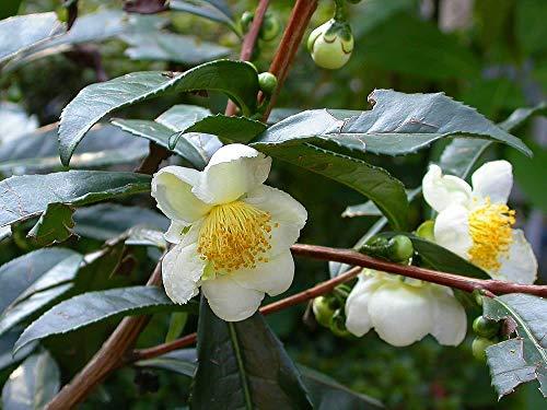 5 thé Graines de plantes - Camellia sinensis