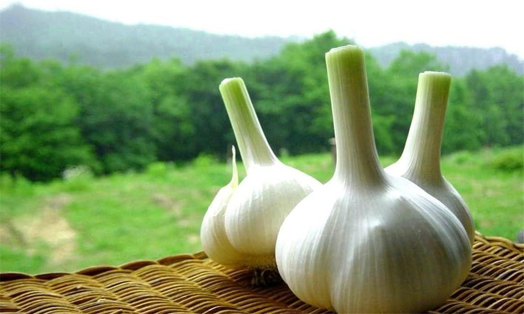 Garlic Oklahoma City Mall Tubers Garden Decoration Healthy for Regular discount Fall Great Seasoning