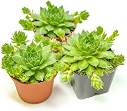 Hen and Chicks Succulents (3 Pack) Live Sempervivum Houseleek Succulent Rooted in Planter Pots | Flowering Geometric Roset...