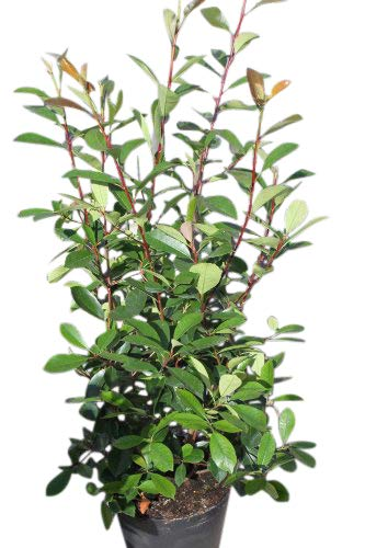 Photinia fraseri - Red robin - Plantes de grande taille, approx. 1m de hauteur