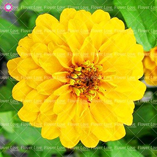 50PCS Garden Bonsai Graines Zinnia Multicolor Chrysanthème Graines Graines de fleurs belles plantes ornementales culture facile 15