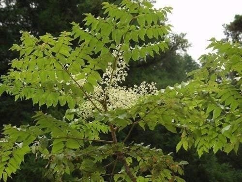 vegherb Chinesische japanische aralie Hardy Exotische Samen!