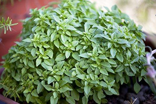 Basilikum Griechisches Busch - min. 30 Samen
