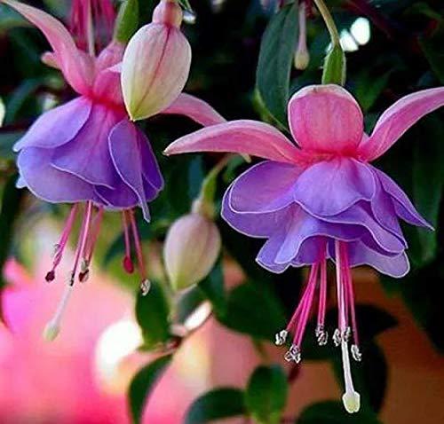 100pcs Rare Bleu Fleurs Fuchsia Graines Lanterne fleurs vivaces Graines de fleurs Plante en pot pour le jardin Fleurs décoratives
