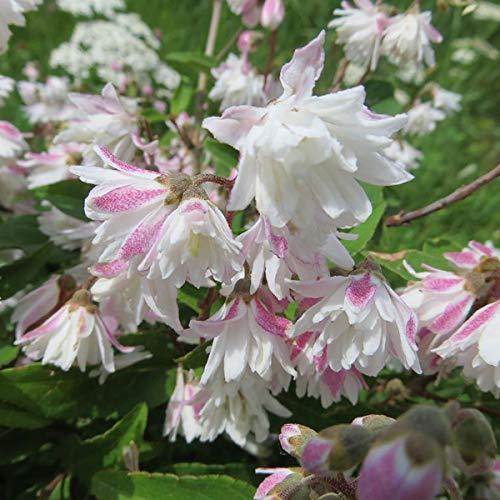 Deutzia Scabra 'Codsall Pink' - Fuzzy Deutzia 40-60 cm Pflanzcontainer