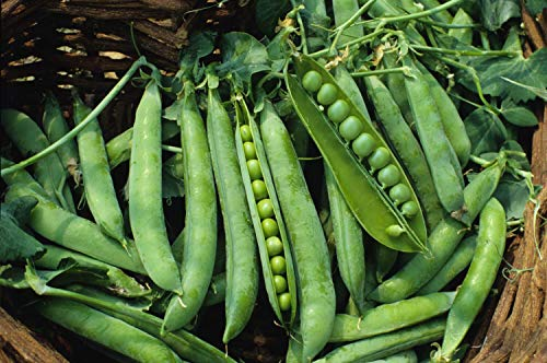 30 Semillas Guisante Enano Lincoln (Pisum Sativum)