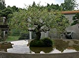 Jumbo Bonsai Tree Dragon Claw Willow - 3 foot tall Trunk approx 2-3 inches Thick