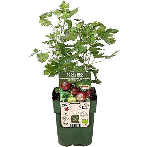 Ribes uva-crispa'Lady Late' |...