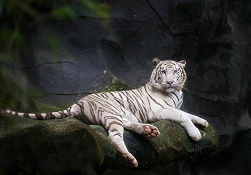 wandmotiv24 Fototapete Weißer Tiger sitzt in der Höhle S 200 x 140cm - 4 Teile Fototapeten, Wandbild, Motivtapeten, Vlies-Tapeten Tier, Zoo M1027